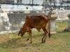 die Kuh von Wat Phu Khao Thong