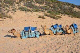 Die Kamele vom Cable Beach Broome