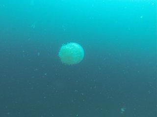 Tauchen in Koh Phangan - Grosser Jellyfish!