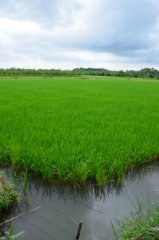 Ein Reisfeld