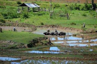 Büffel am Arbeiten auf den Reisfeldern