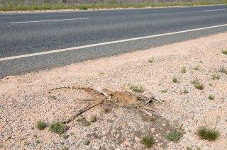 Ein Känguru Skelett