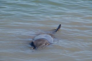 Delfine bei Monkey Mia