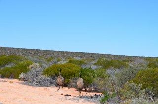 Emus an der Strasse