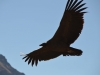Kondor am Fliegen