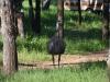 Ein Emu!
