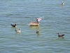 Pelikane und Vögel am Fisch fange
