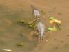 Freshwater Crocodile
