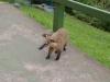 Ein Coati