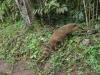 noch ein Coati