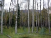 viele Birken auf dem Campingplatz