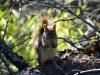 Eichhörnli