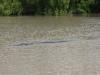 Das 5 Meter Krokodil!
