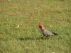 Australischer Vogel
