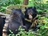 Die Bären beim Kuangsi Waterfall