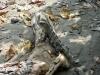 Ein Leguan am Strand