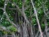 Uralter Baum beim Bayside Marketplace
