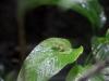 kleiner Glasfrosch