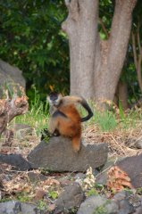 Ein Affe der Monkey Island
