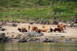 noch mehr Kühe am Mekong